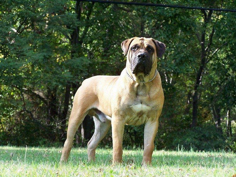El pan perro Boerboel