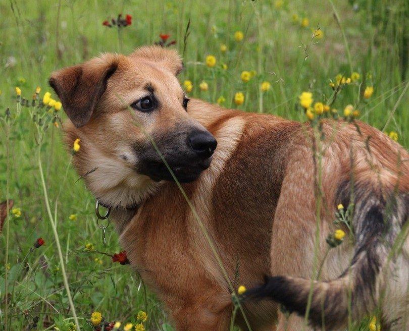 El perro de Chinook