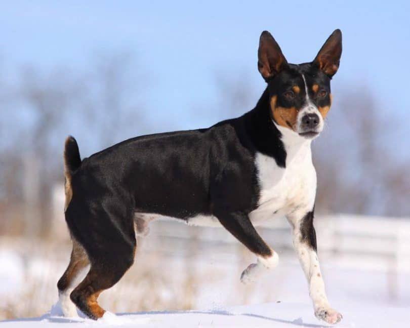 La rata Terrier
