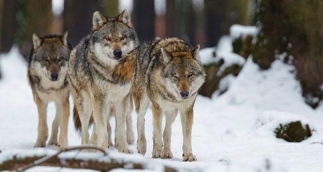 Nuevos lobos, viejos trucos