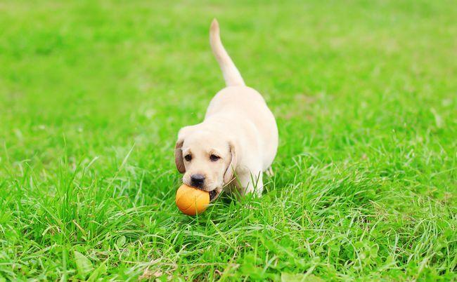 cachorro de laboratorio que juega la bola en la hierba exuberante