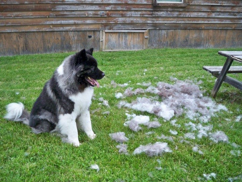 la caída del cabello perro