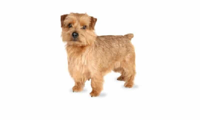 perro de raza Norfolk Terrier