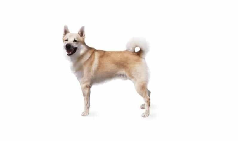 perro de Buhund