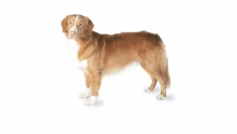 Nueva Escocia Pato peaje Retriever raza de perro