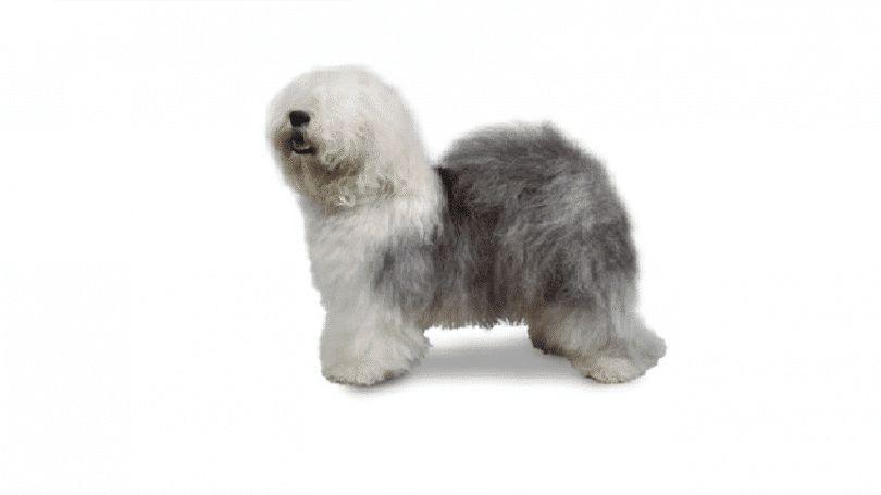 Antiguo perro pastor inglés