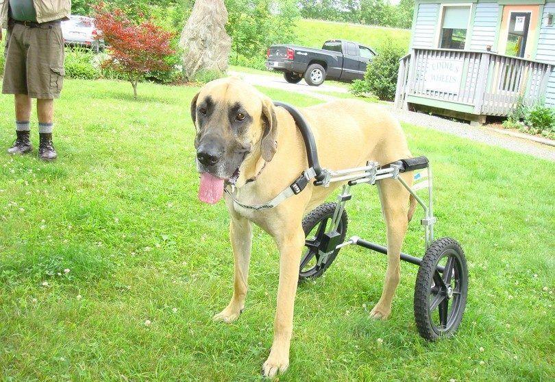 Perro con la pierna amputada