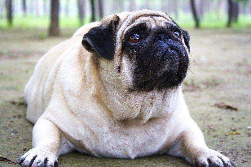 El sobrepeso del perro: signos y soluciones