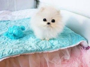 Paris hilton compra $ 13.000 pomerania cachorro