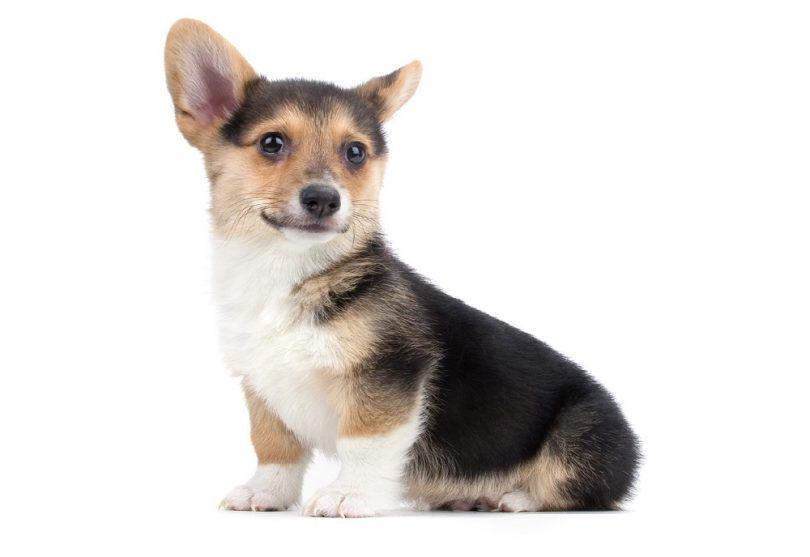 la raza del perro del Corgi GalГ©s
