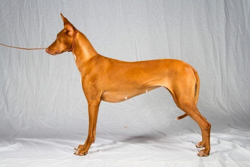 la raza del perro del Pharaoh