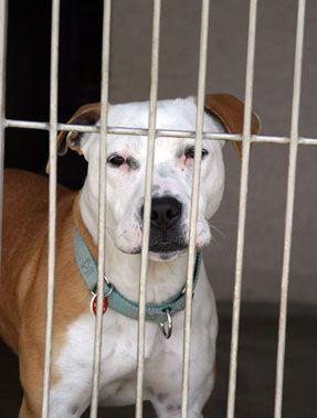 Prohibición de pit bull separa al hombre discapacitado, perro de servicio
