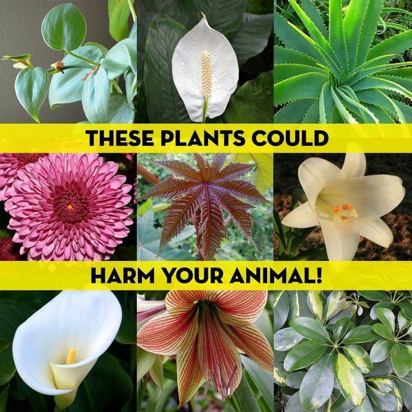 Lirios de la paz y otras plantas dañinas
