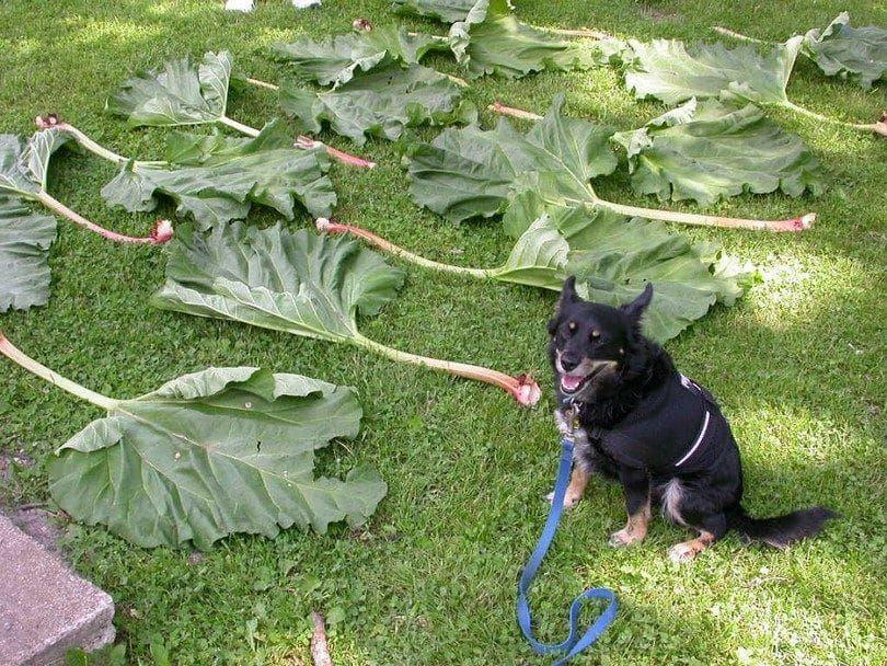 Las hojas de ruibarbo y el perro