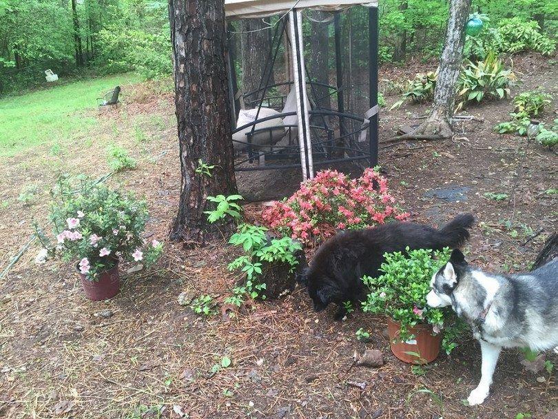 Azalea y perros