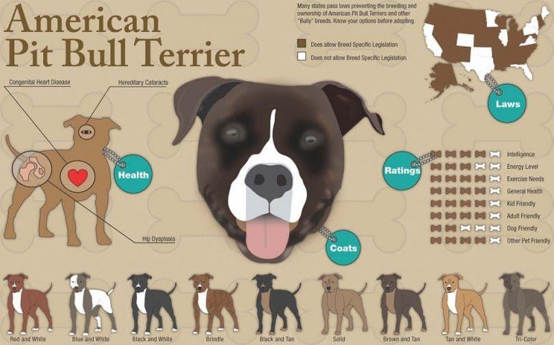 infografía American Pit Bull Terrier