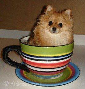 Pomerania cachorro guía de atención