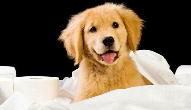 Potty que entrena a un perrito en un apartamento: una rápida cómo