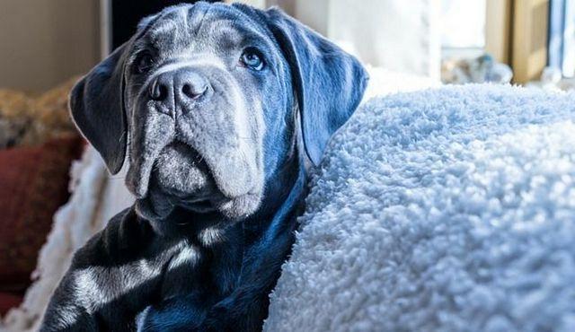 Cachorro de precios: ¿cuánto cuesta una caña de corso?