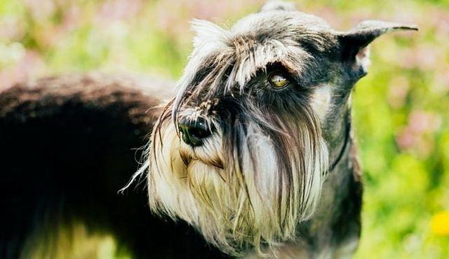 Cachorro de precios: ¿cuánto cuesta un schnauzer estándar?