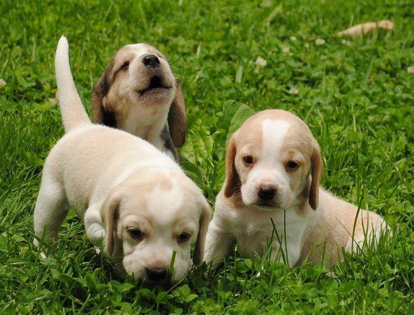 Los cachorros listos para vactination