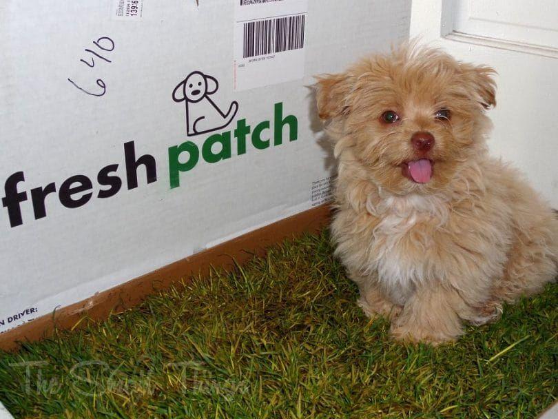 Parche para ir al baño fresco perro desechable con césped real