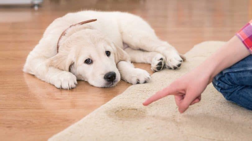 Enseñar a su perro a usar almohadillas de entrenamiento