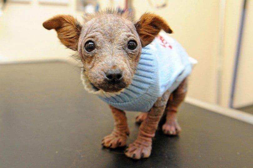 Cachorro en el veterinario miedo