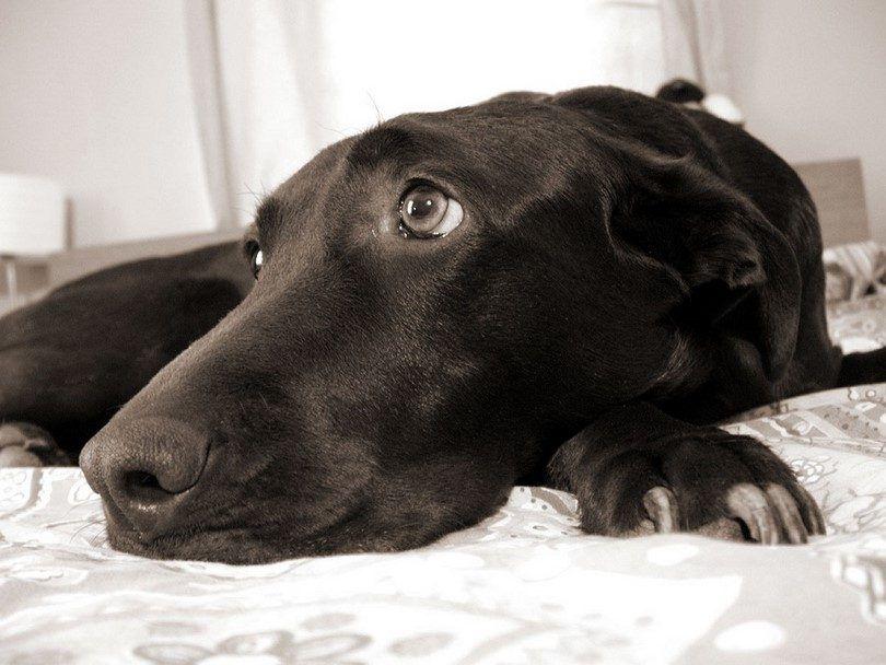 Poner a un perro a dormir