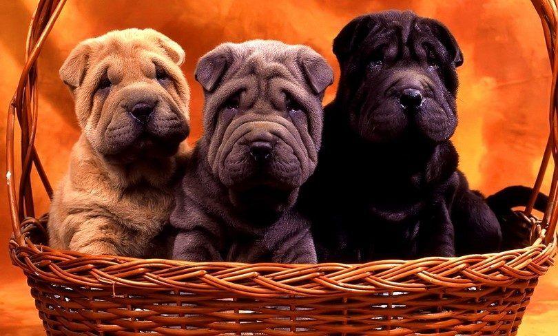 Preguntas para hacerle a un criador de perros: 14 preguntas para saber su cachorro futuro mejor