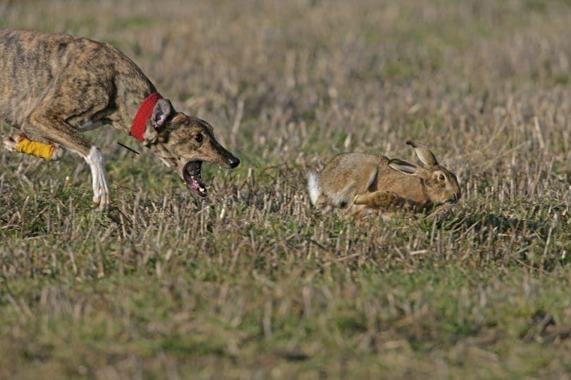 la caza del conejo perro