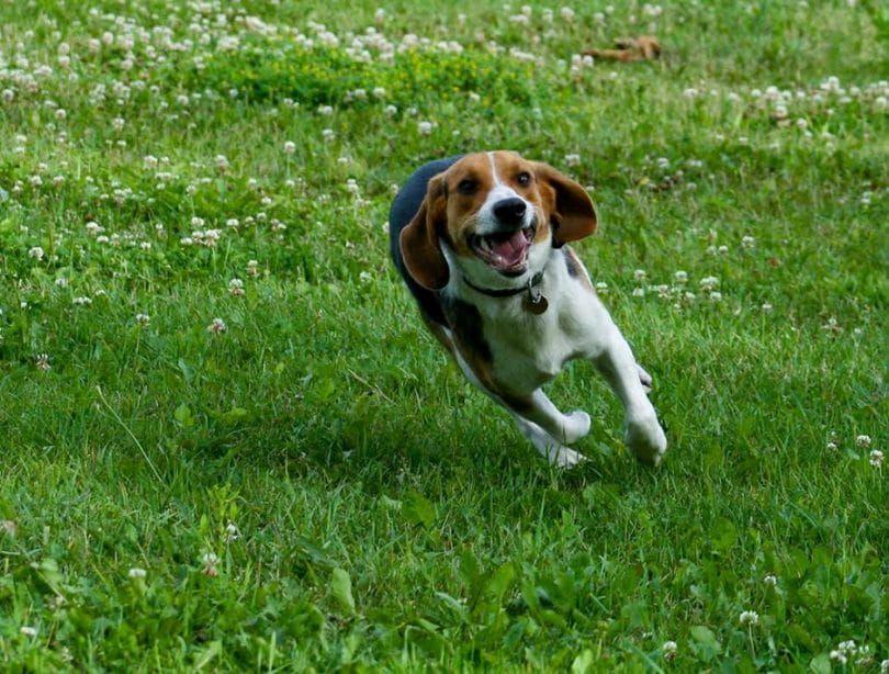 la caza del beagle