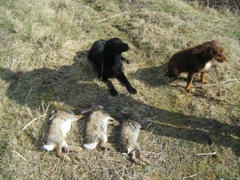 la caza de conejos