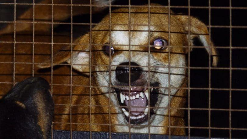 Los síntomas de rabia en perros