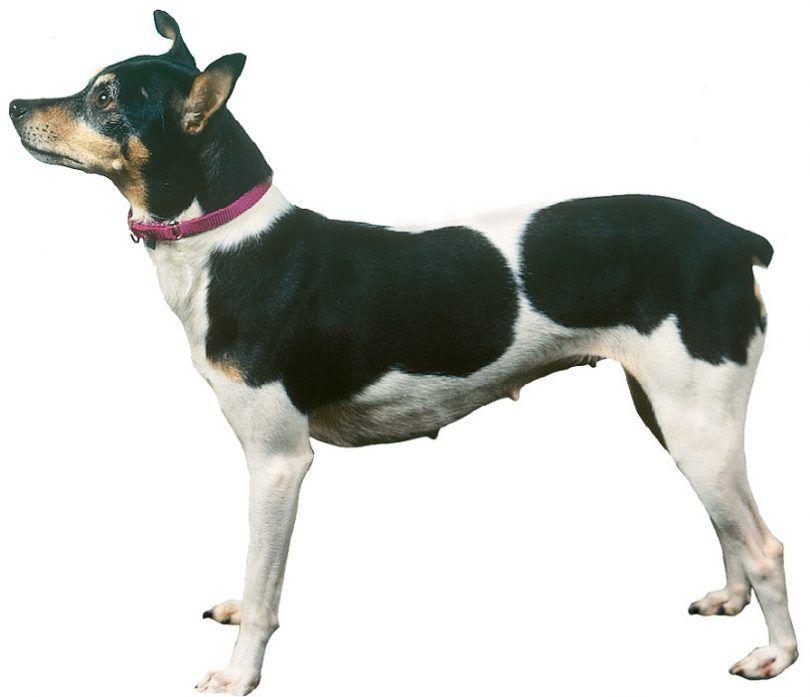 la raza del perro de Terrier de rata