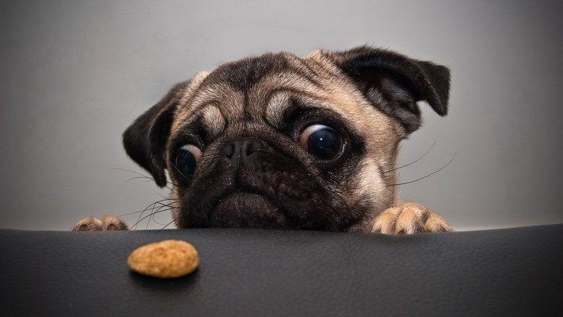 Los alimentos crudos para su perro