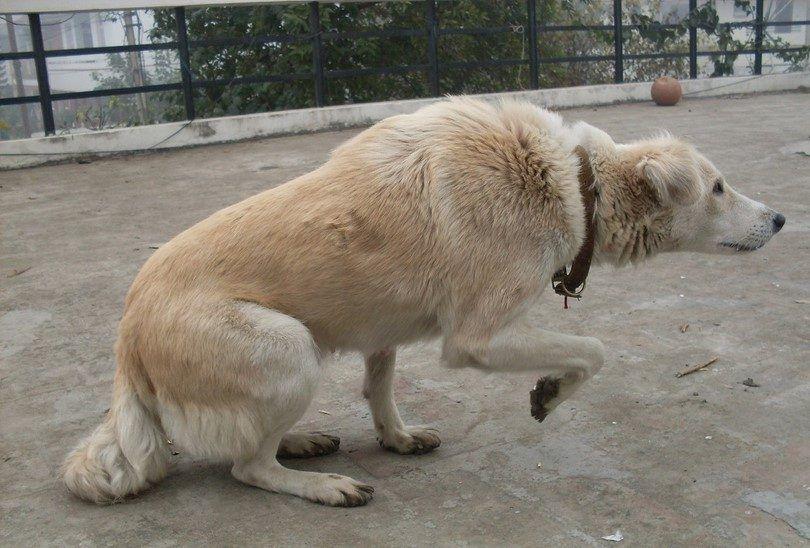 el lenguaje corporal del perro acecho agresivo