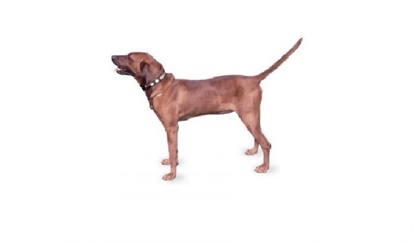 Coonhound de redbone