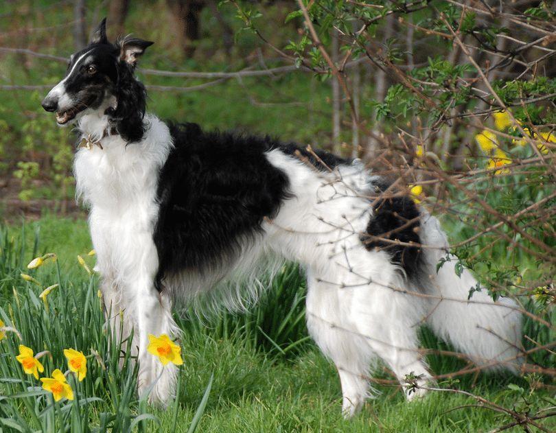 Razas de perros rusos: principales razas que impresionarán a usted