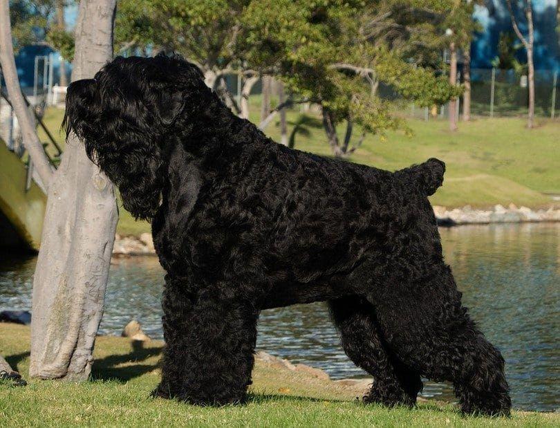 El Terrier Ruso Negro