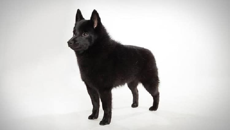 raza del perro del Schipperke