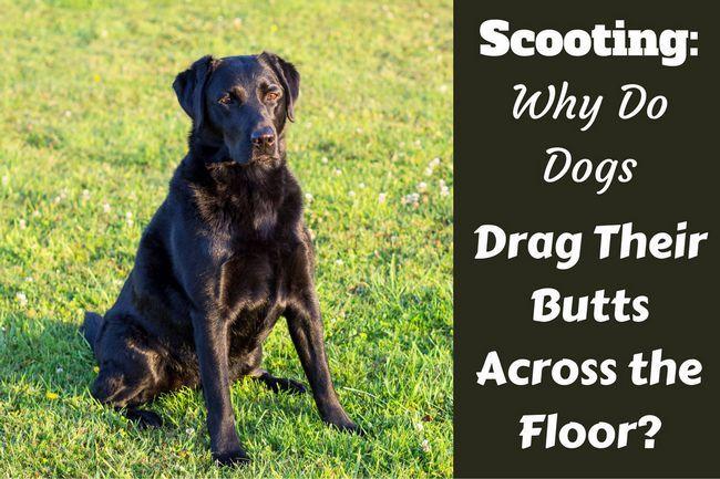 El desplazamiento rápido: ¿por qué los perros arrastran sus colillas por el suelo?