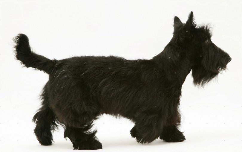 Scottish Terrier beed perro