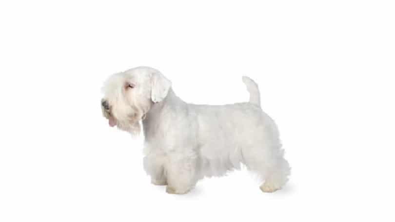 perro de Sealyham Terrier