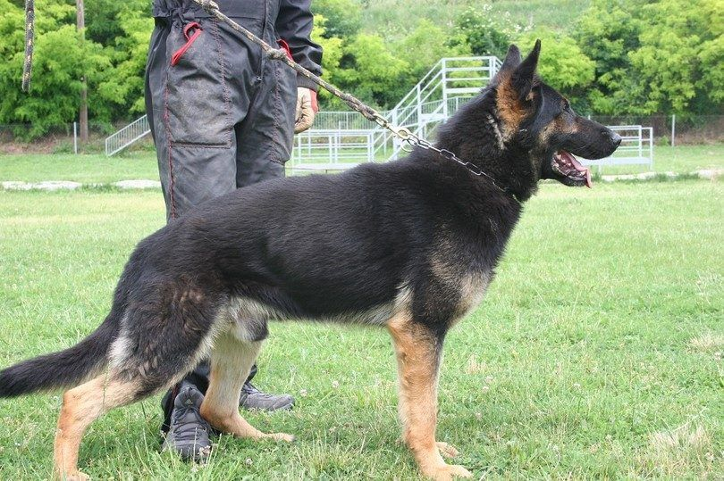 El entrenamiento del perro de la Unidad K9