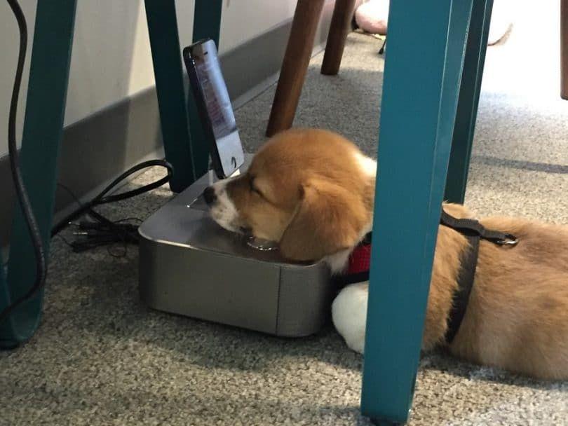 Los perros de servicio y Empleo