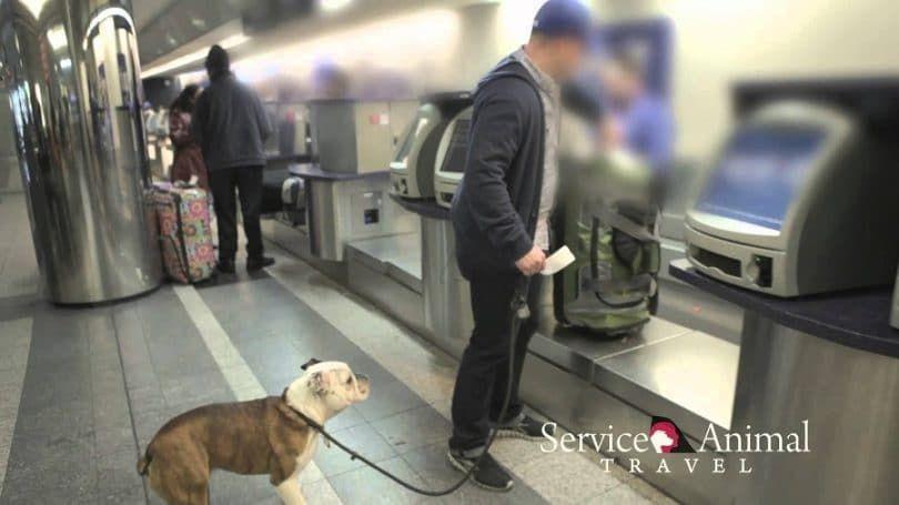 Los perros de servicio y consejos del transporte aéreo