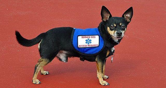 Los perros de servicio parte 2: hipoglucemia / diabetes