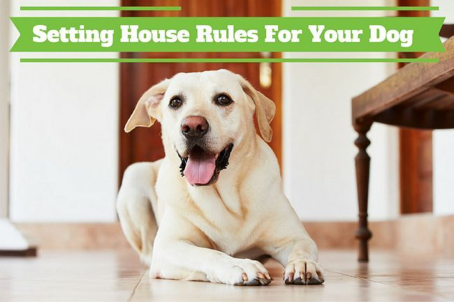 Normas de la casa para los perros - Un laboratorio Laboratorio amarillo que pone en un suelo del pasillo