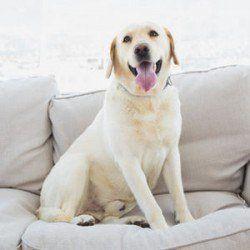 Un Labrador sonriente en el sofá